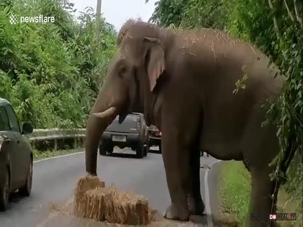 Slon krade seno