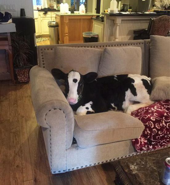GALERIE - Krávy, které jsou jako psi