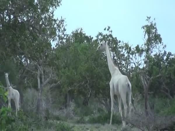 Unikátní bílé žirafy