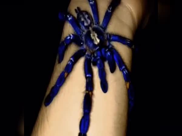 Pěkná modrá tarantule