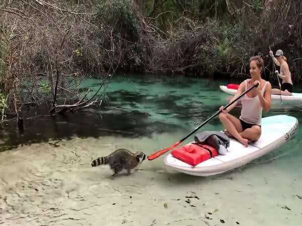 Když mýval krade batoh z paddleboardu
