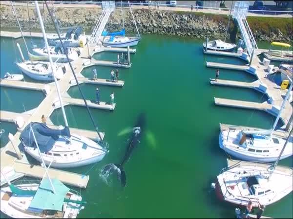 I velrybám občas selže navigace