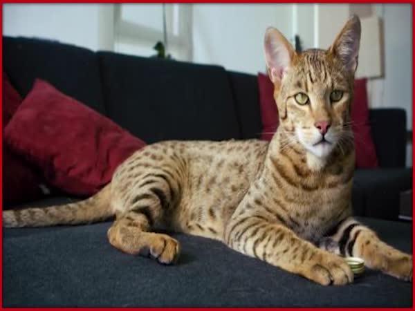 TOP 5 - Nejdražší kočky na světě
