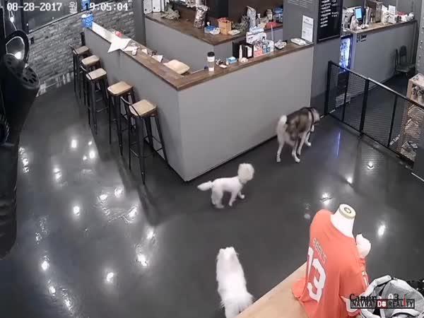 Husky vs. pudl v Koreji