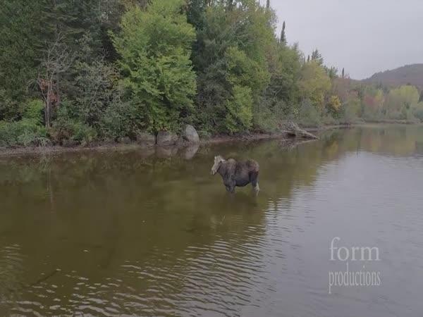 Los a vlk v Kanadě