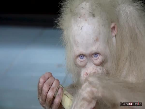 Vzácná bílá orangutanka