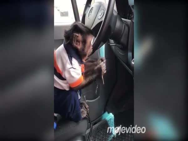 Opice umí nastartovat auto