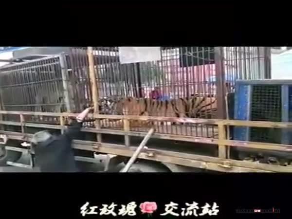 Kousanec od tygra
