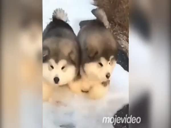 Roztomilost sama - sibiřský husky