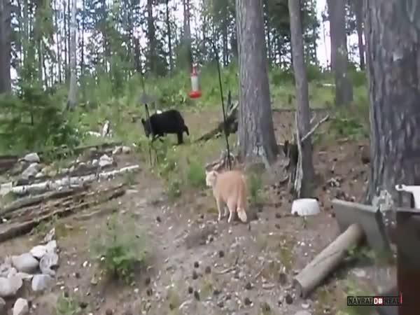 Kočka vs. medvěd