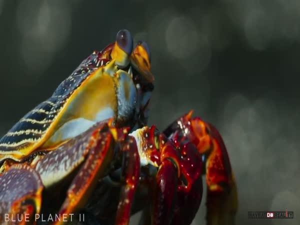 Krab vs. muréna a chobotnice