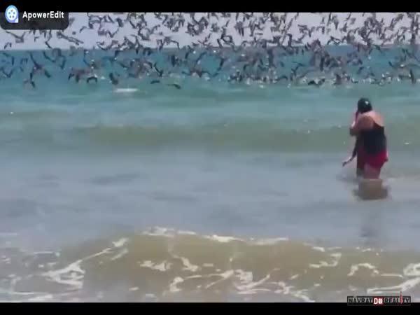 Útok pelikánů na Galapágách