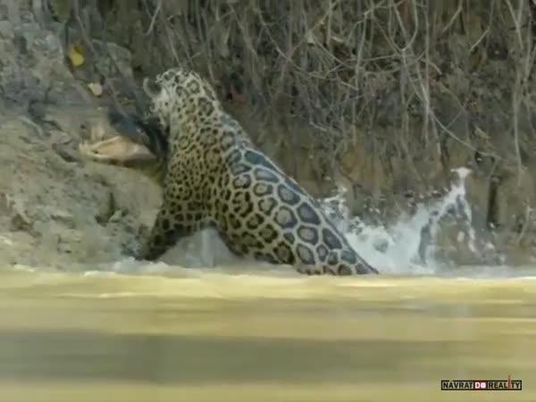 Jaguár vs. kajman