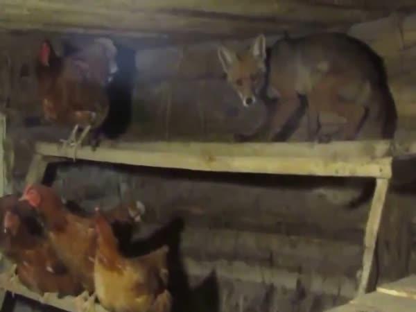 Liška se nenápadně skryla v kurníku