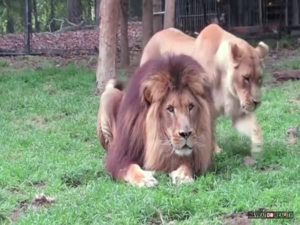 Lev posílá lvici do friendzonu