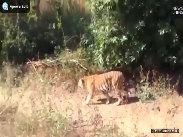 Setkání s tygrem