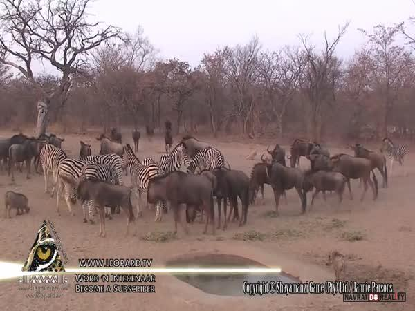 Divoká zebra a její kopačka