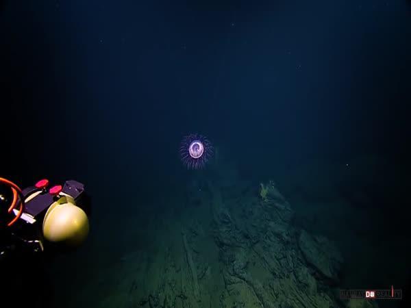 Medúza Halitrefhes maasi