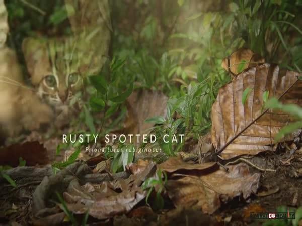 Nejmenší kočkovitá šelma