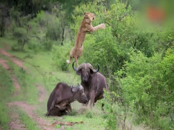 Neštvi koho neznáš - Lev vs. bizon
