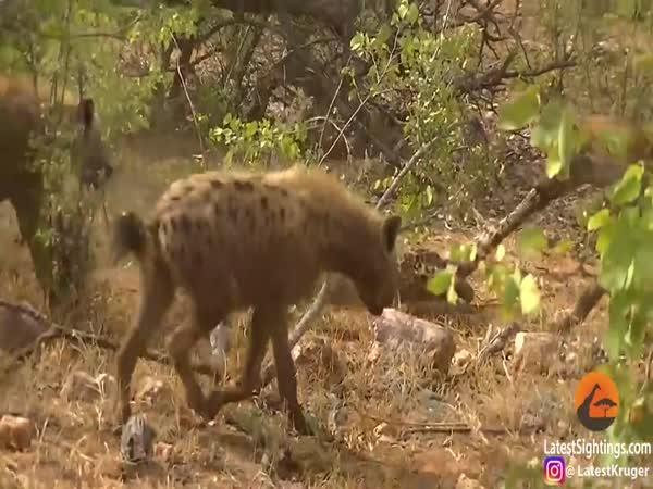 Hyeny vs. leopard