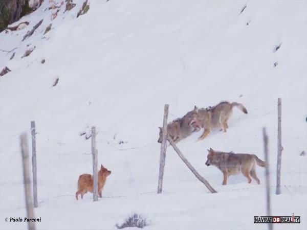 Vlci vs. pes ve sněhu