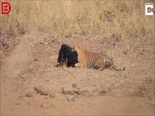 Tygr vs. medvěd ve volné přírodě