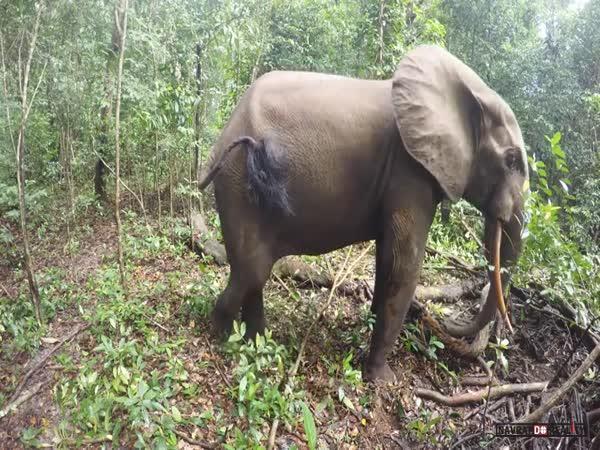 Naštvaný slon v Africe