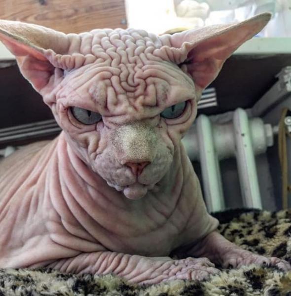GALERIE – Nejošklivější kočka na světě