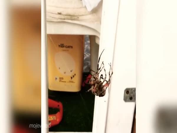 Pavouk proti pavoukovi