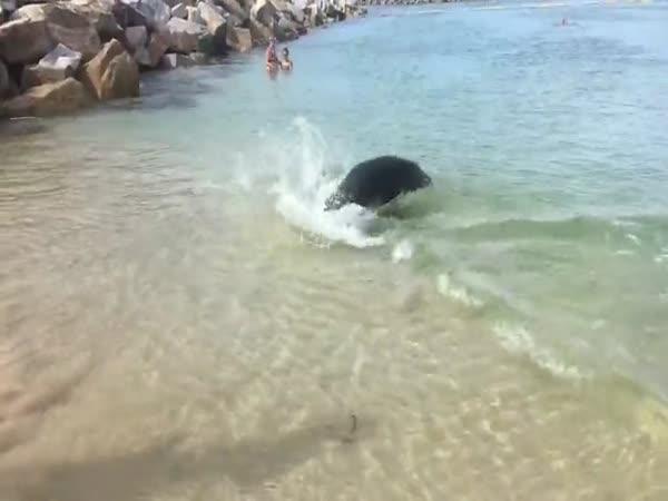 Tuleň loví svou kořist