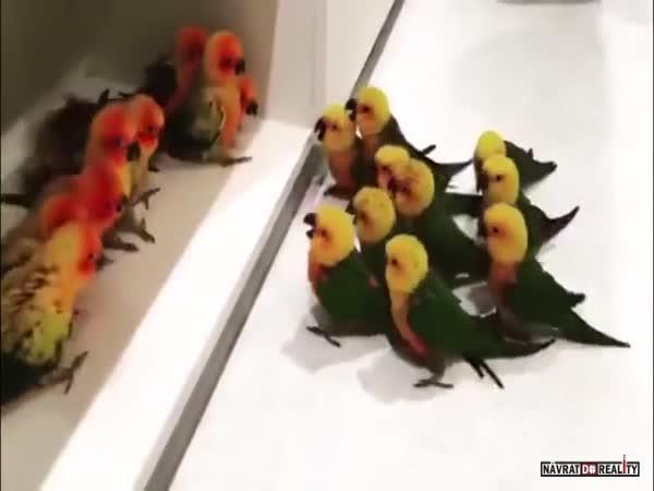 Souboj dvou ptačích gangů