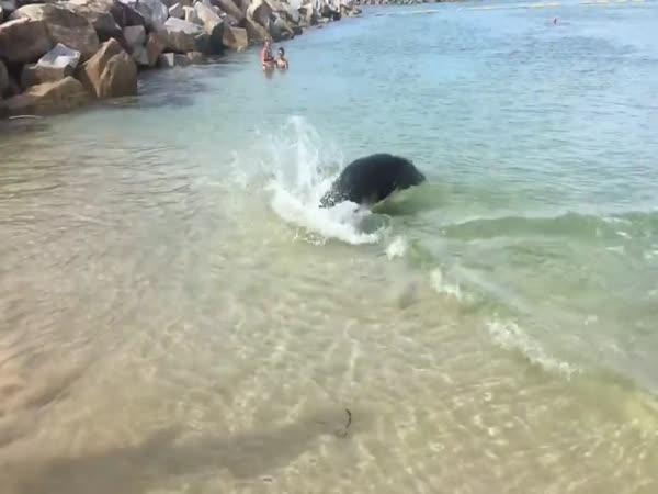 Tuleň na lovu ryb