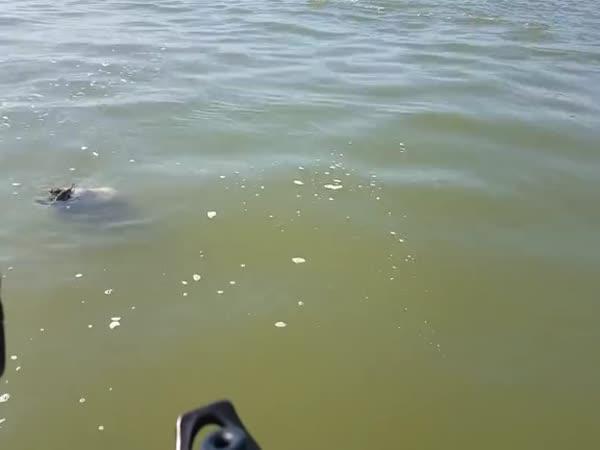 Sumec chtěl sníst želvu (USA)