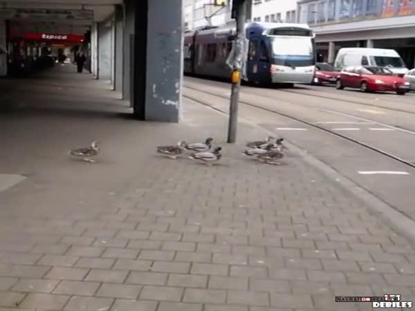 Kachny na přechodu