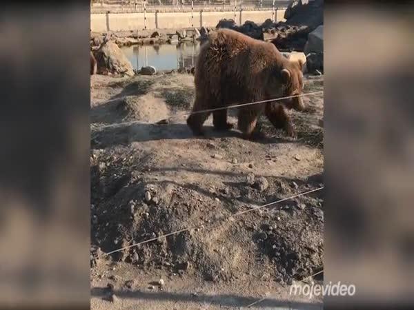 Smutný pohled na cirkusové medvědy