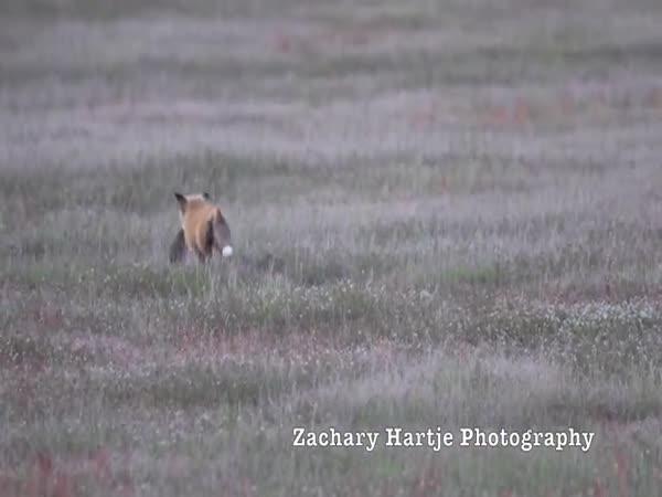 Zajíc vs. liška vs. orel