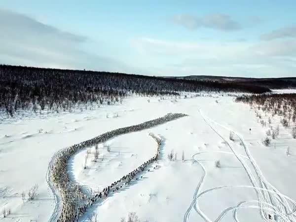 Migrace sobů arktických