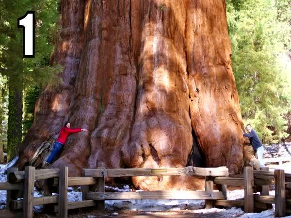 TOP 5 - Největší stromy světa