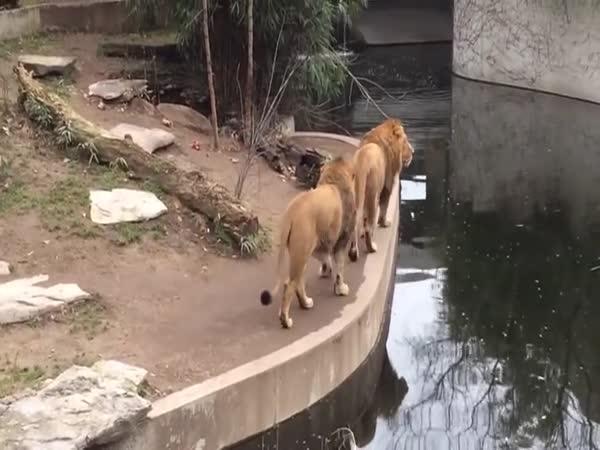 I král zvířat někdy šlápne vedle