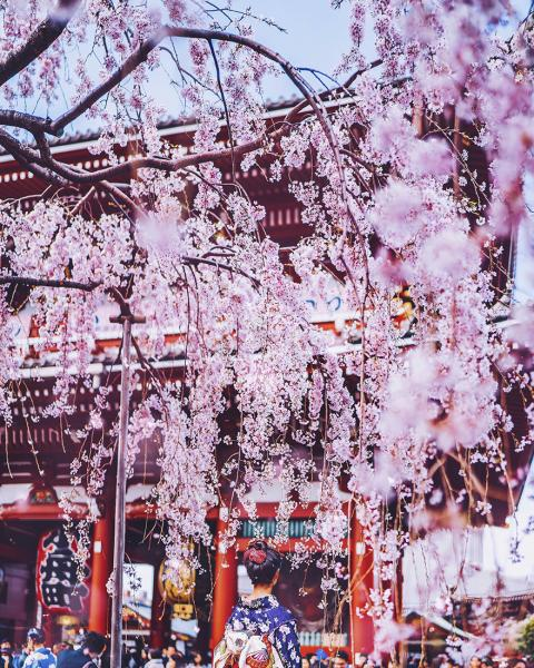 GALERIE - Nezaměnitelné kouzlo třešní v Japonsku