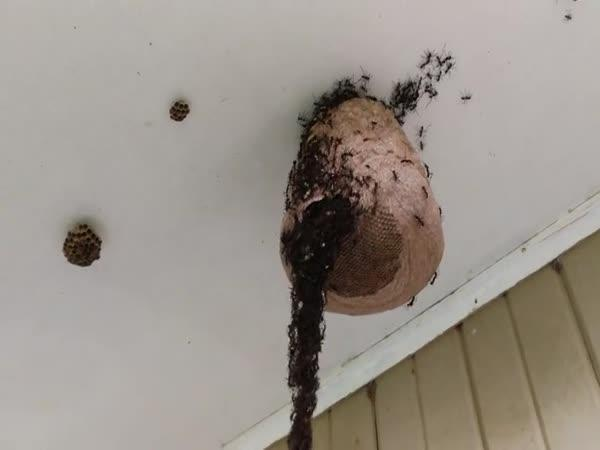 Mravenci si udělali zálusk na vosí hnízdo