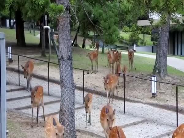 Jeleni v japonském městečku