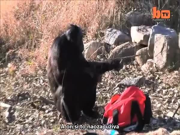 Šimpanz Kanza dokáže založit oheň