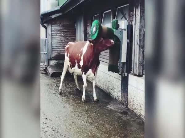 Kráva si užívá škrabací kartáč