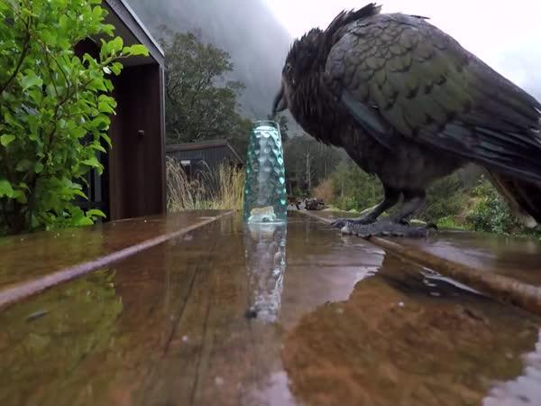 Novozélandský papoušek Nestor kea