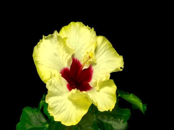 Rozkvétání květů - timelapse