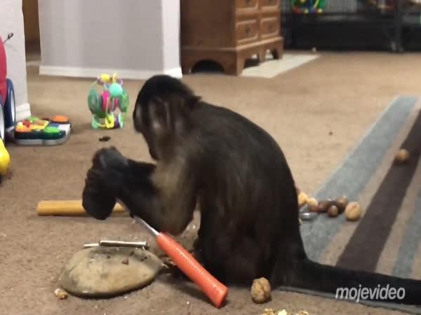 Opice objevila kladivo