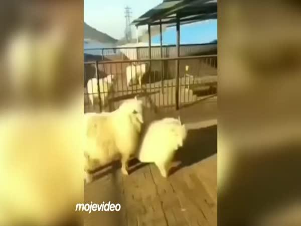 Koza si to vyřídila s chovatelem