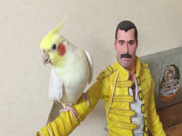 Papoušek zpívá hity Freddie Mercuryho